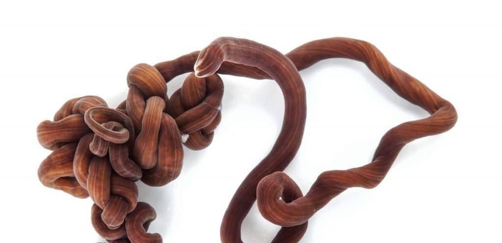 Lineus longissimus - бесконечный шнурок