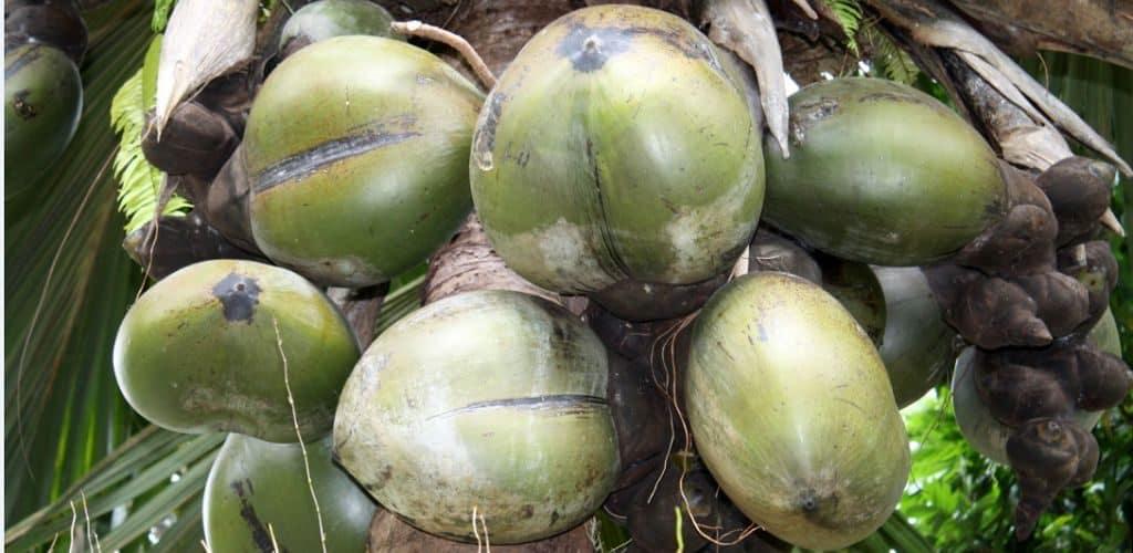 Коко-де-мер (морская пальма)
