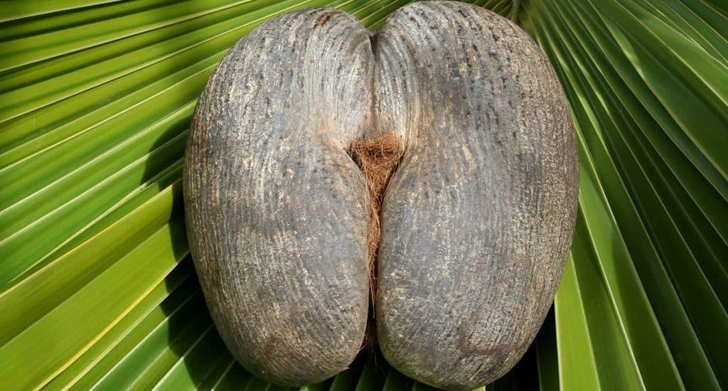 Плоды коко-де-мер