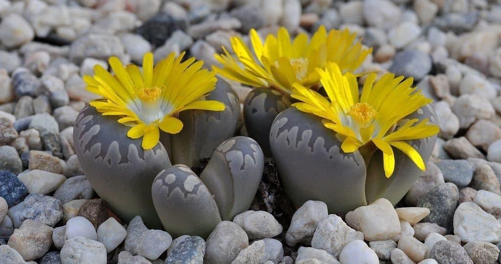 Живые камни (литопсы)
