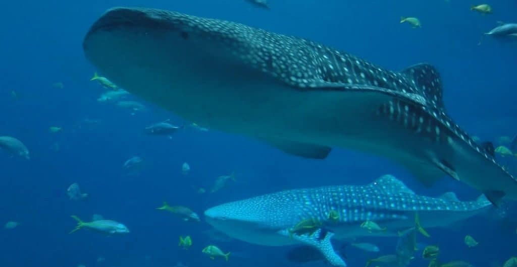 Китовая акула с детенышем
