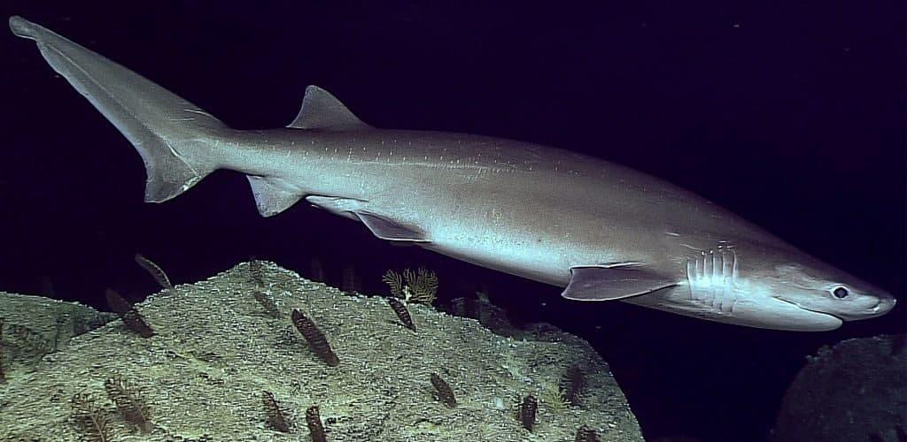 Шестижаберная акула