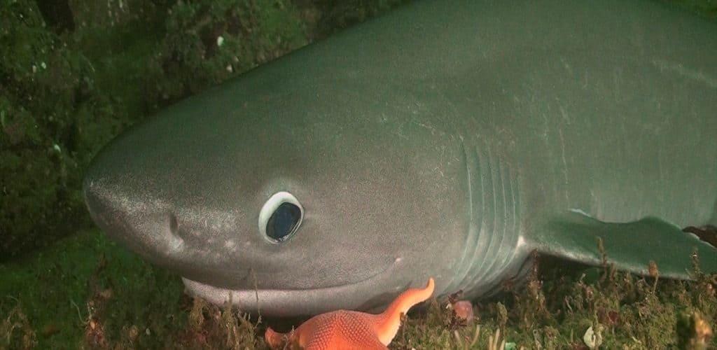Строение шестижаберной акулы