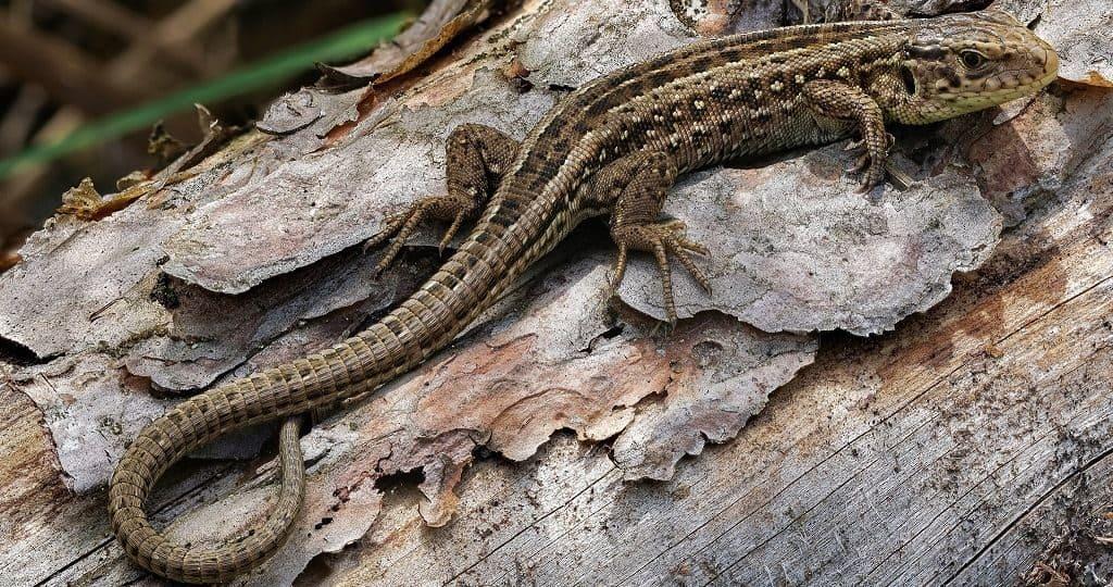 Прыткая ящерица в природе