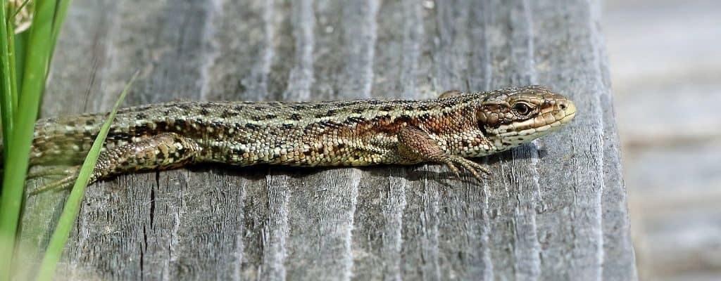 Живородящая (болотная, лесная, горная) ящерица
