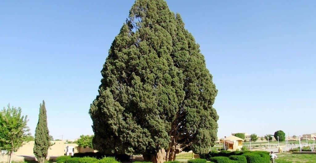 Кипарис в провинции Йезд (Иран)