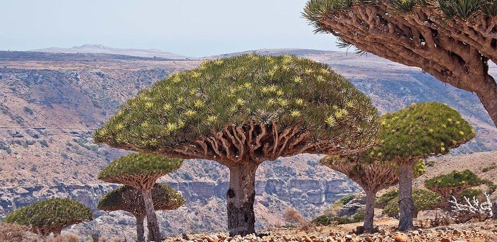 Древние драконовые деревья на острове Сокотра