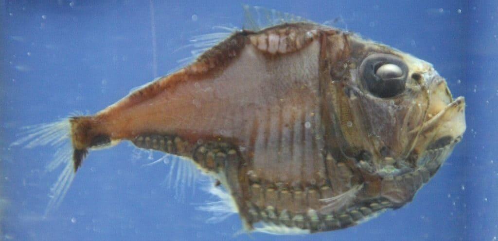 Рыбы-топорики (клинобрюшки)