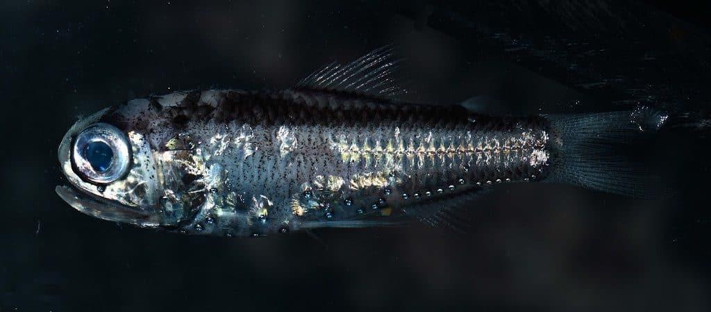 Светящаяся рыбка-анчоус