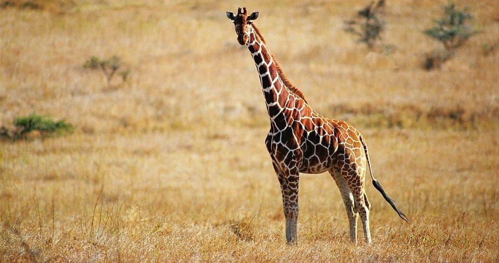 Интересное о жирафе
