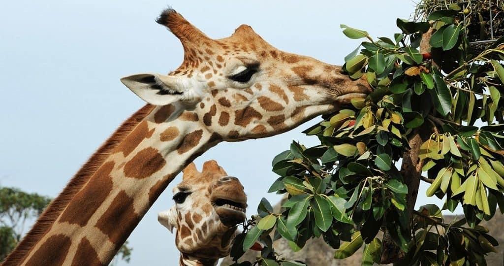 Как жираф ест