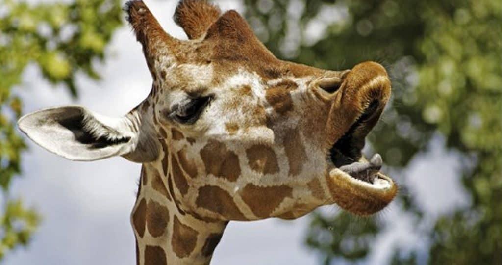 Крик жирафа