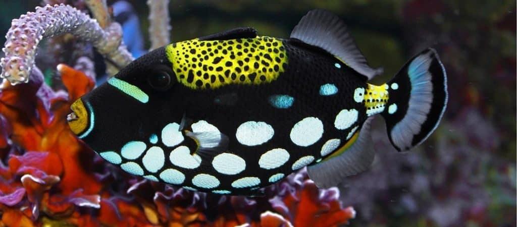 Морская рыба Спинорог Пикассо