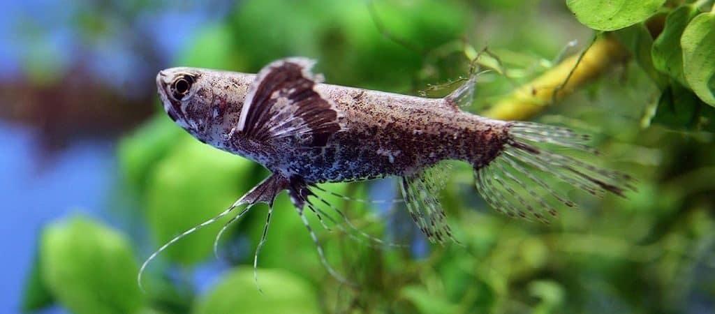 Пантадон (рыбка-мотылек)