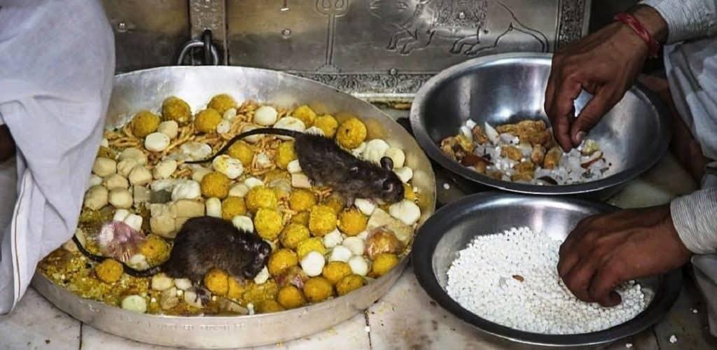 Крысы в Индии считаются воплощением богини Карни