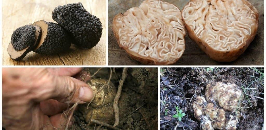 Полезные свойства трюфелей