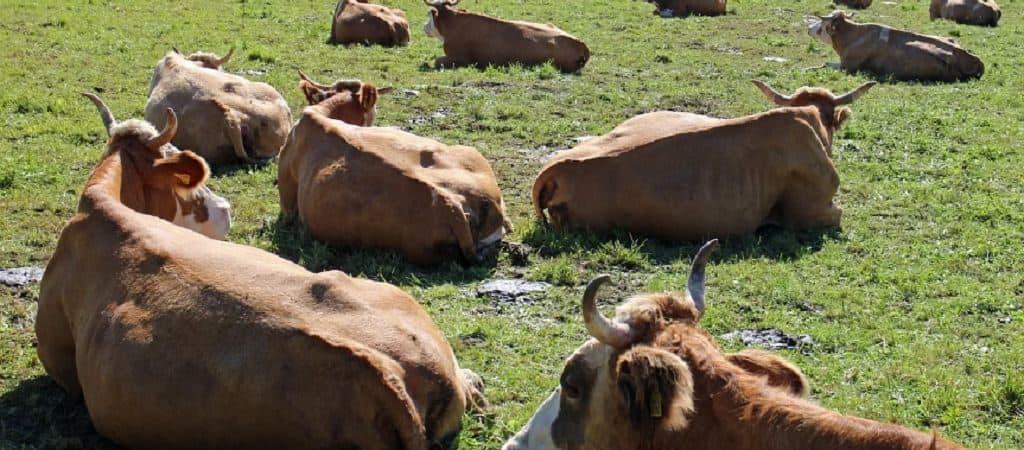 Как спят коровы