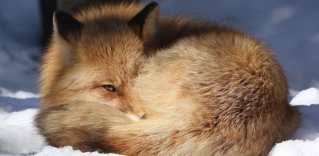 """Лиса спит, свернувшись """"калачиком"""""""