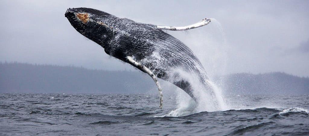 Прыгает кит