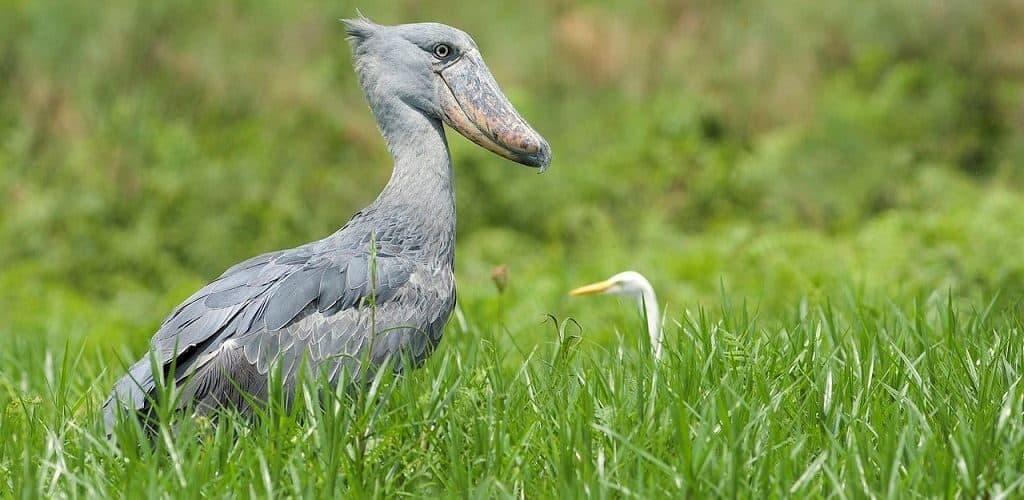 Птица китоглав