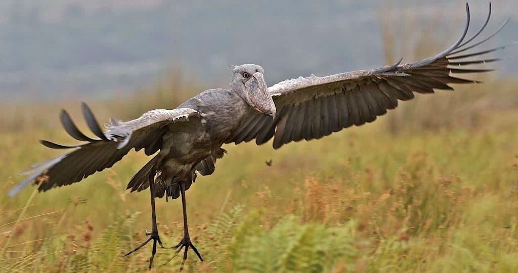 Птица китоглав - размах крыльев