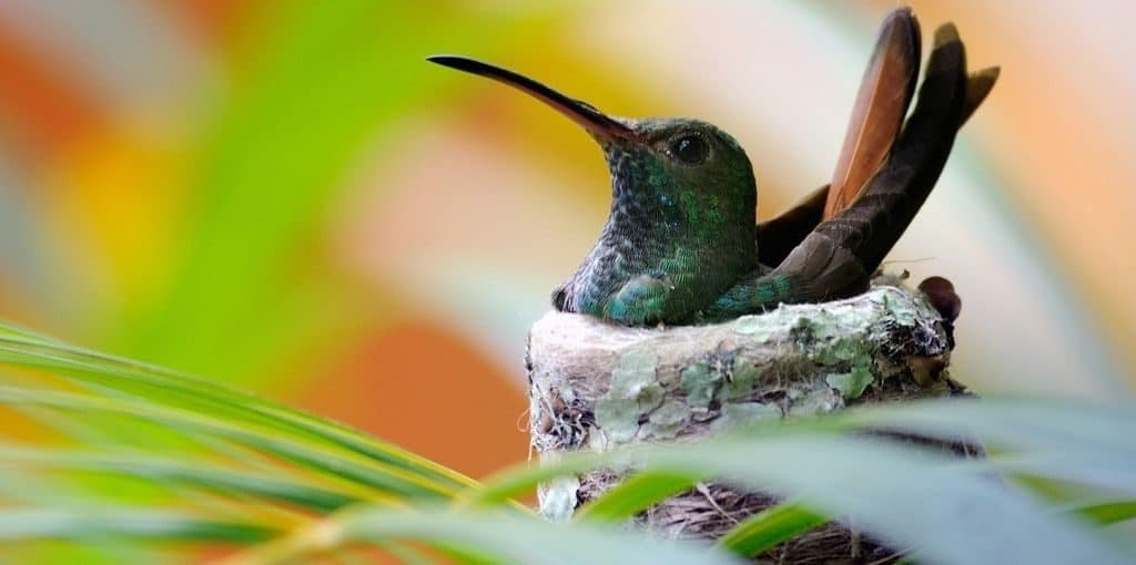 Колибри на гнезде