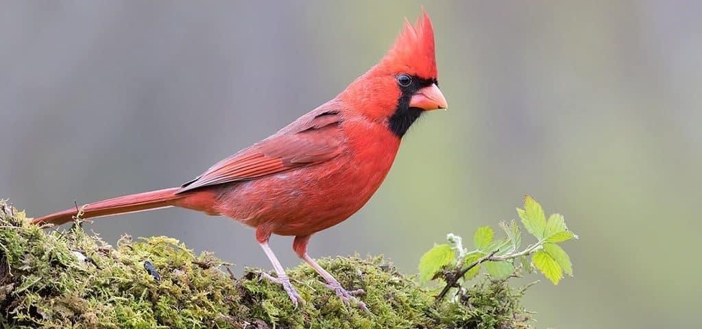 Красноклювый красный кардинал
