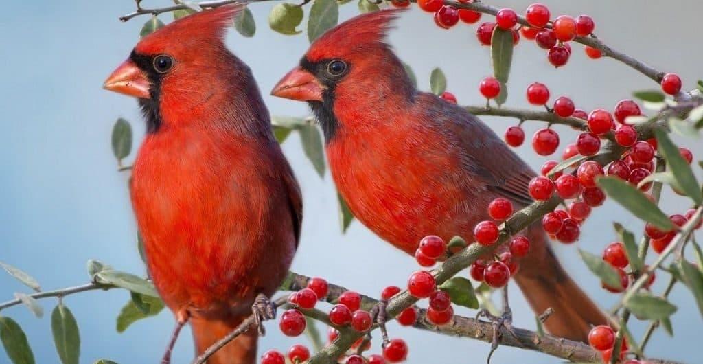 Пара красных кардиналов