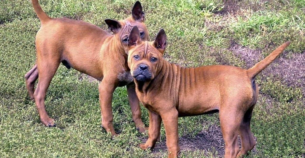 Собаки породы чунцин