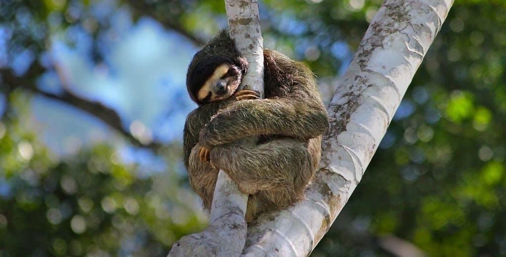 Как спят ленивцы