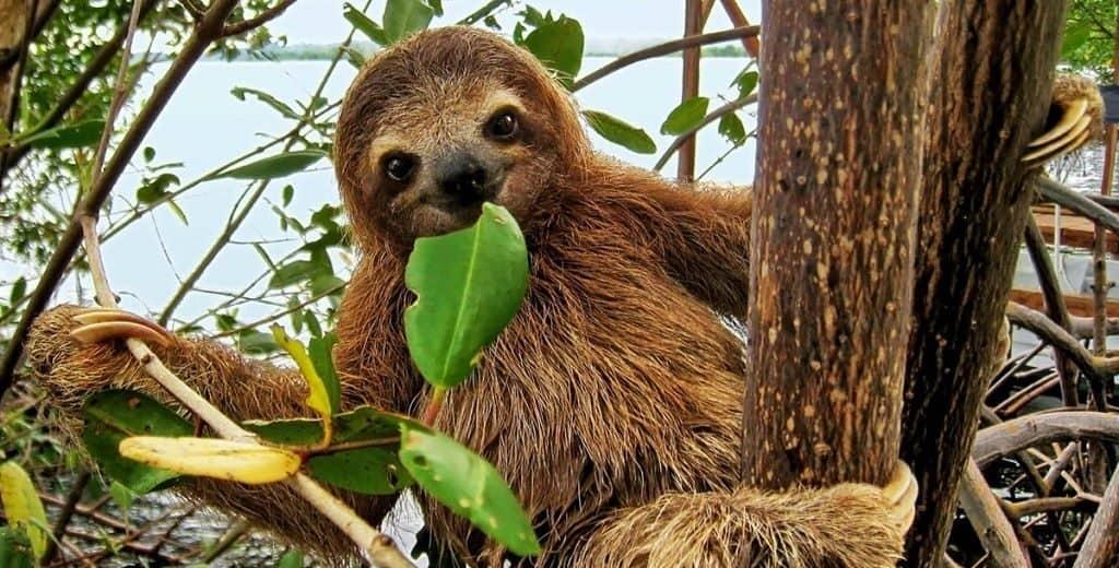 Что едят ленивцы