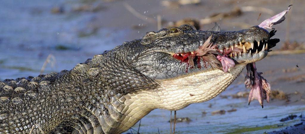Чем питаются крокодилы