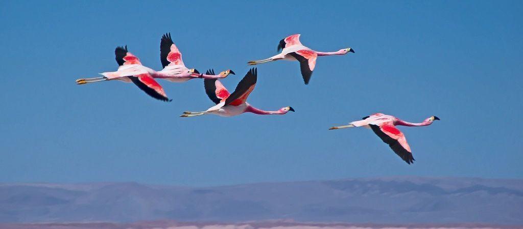 Как летают фламинго