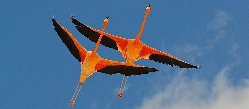 Фламинго в воздухе