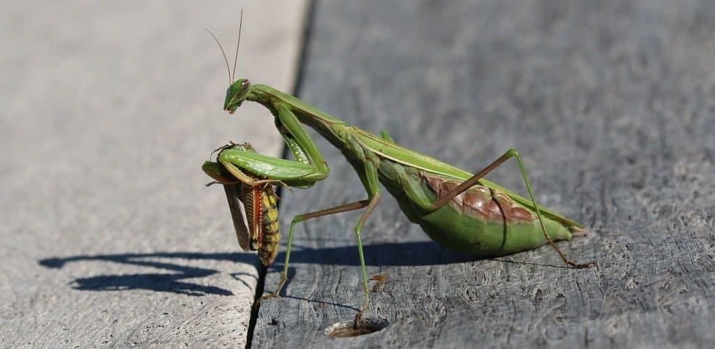 Богомол класса насекомых