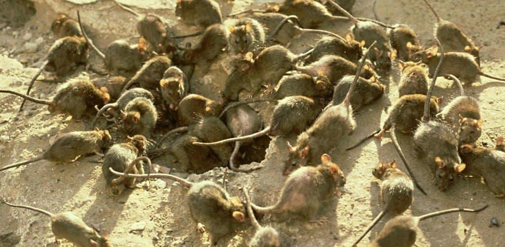 Нашествие крыс в Индонезии