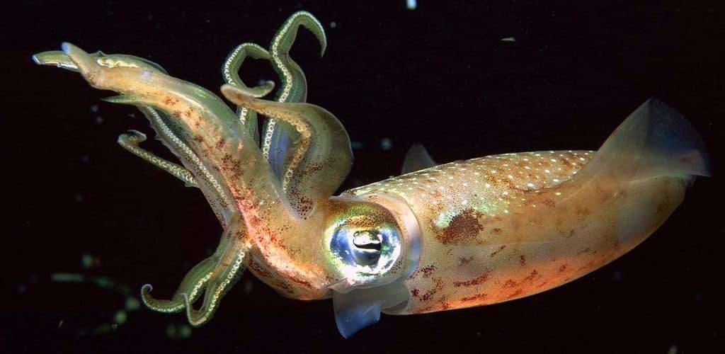 Туловище кальмара