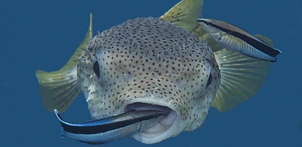 Рыба-зубочистка