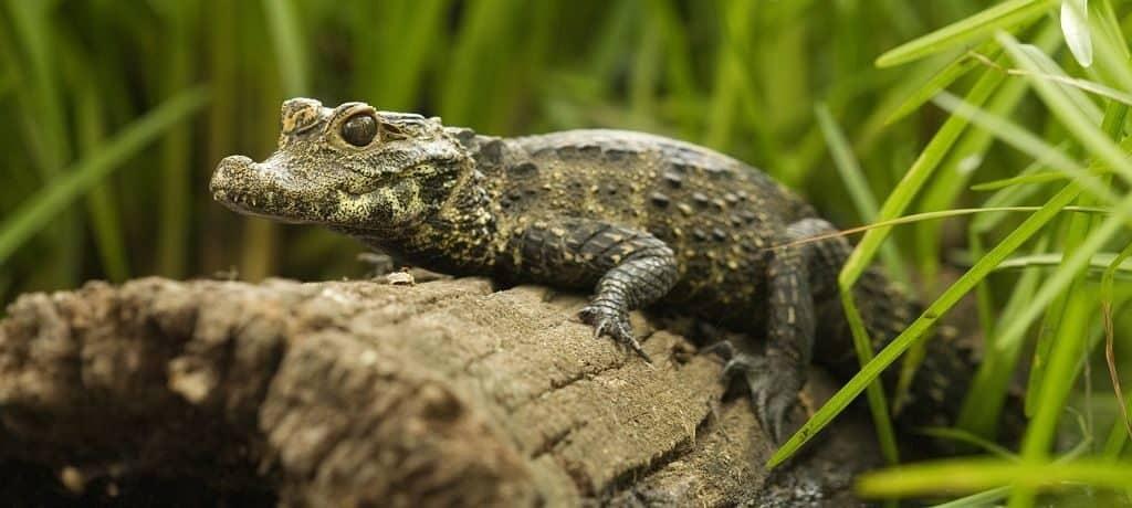 Самый маленький крокодил