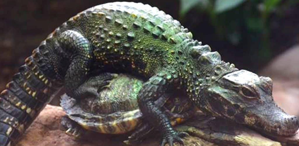 Как выглядит самый маленький крокодил