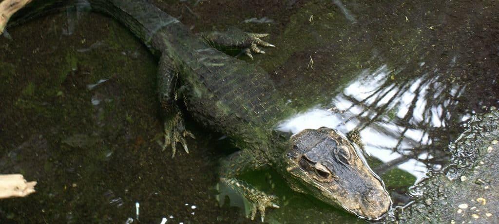 Места обитания маленьких тупорылых крокодилов