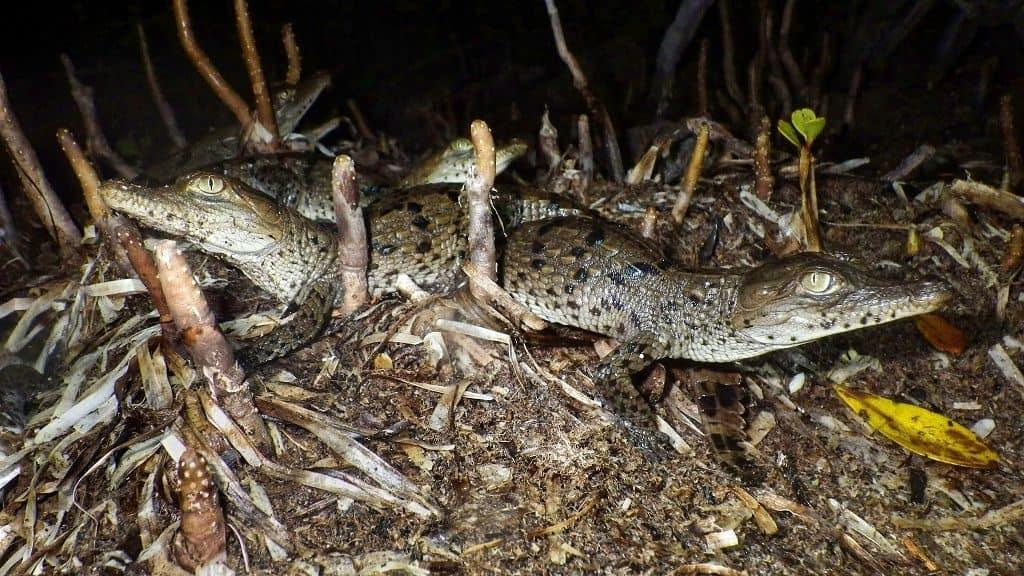Как размножаются тупорылые крокодилы