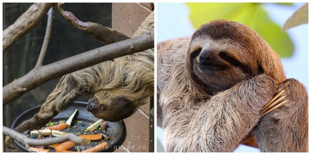 Ленивцы двупалые и трехпалые