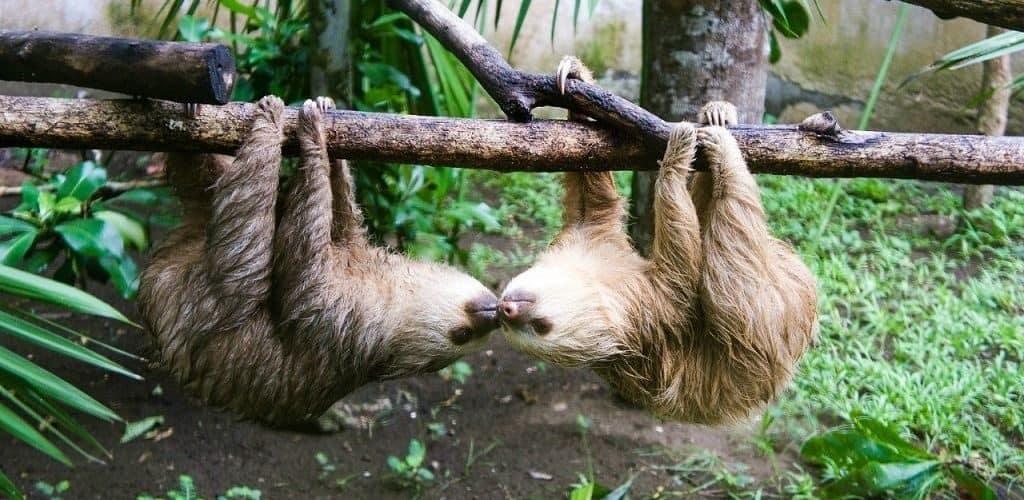 Где обитают ленивцы