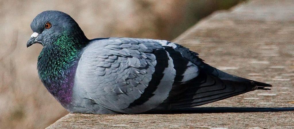 Интересное о голубях