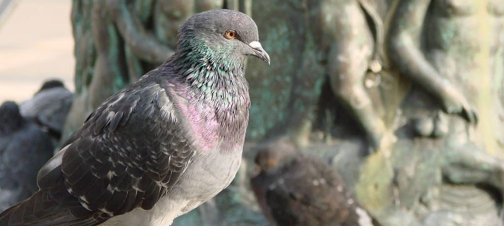 Интеллект голубя