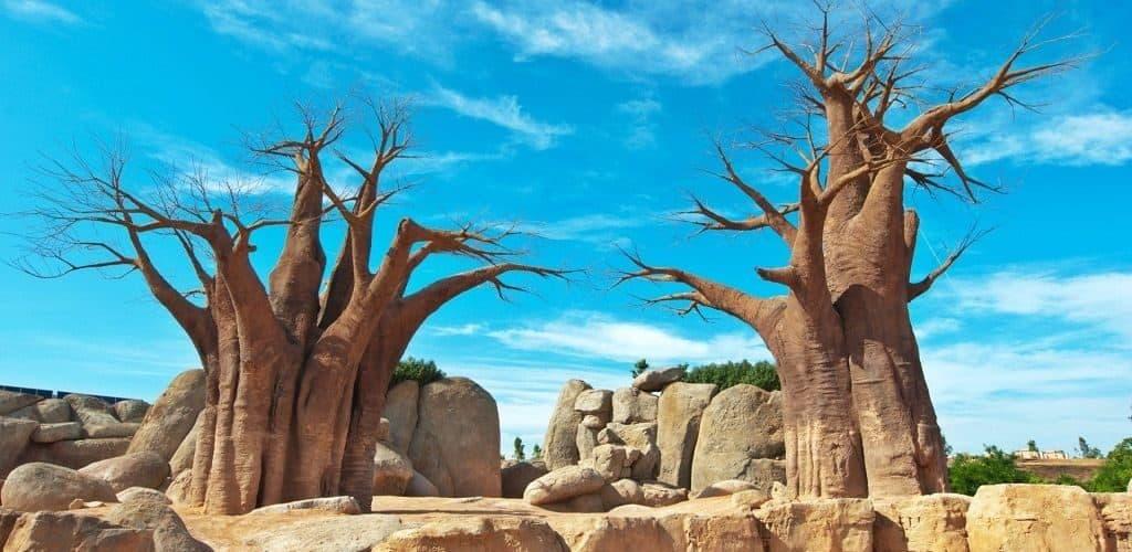 Где растет баобаб