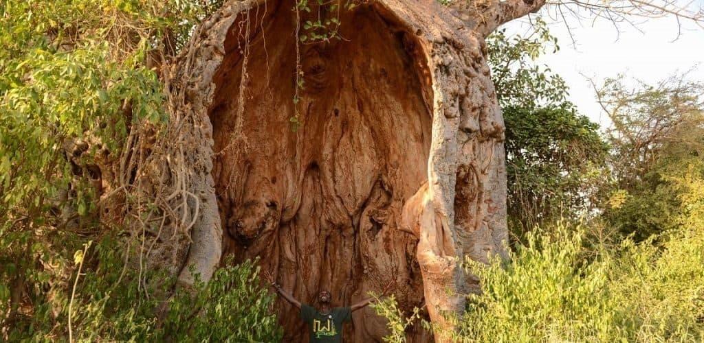 Кора и древесина баобаба