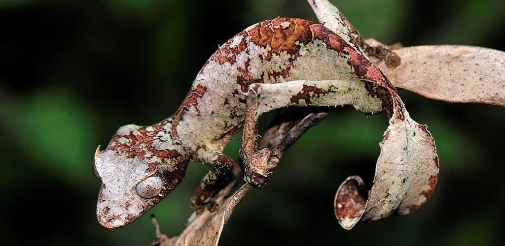 Мшистый плоскохвостый геккон