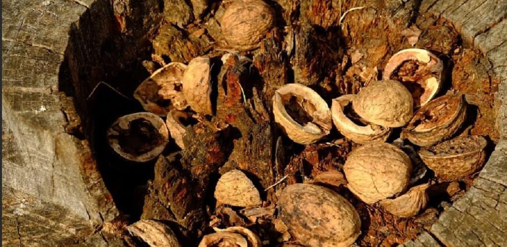 Грецкие орехи, найденные при раскопках